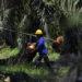 Koalisi Buruh Sawit Tuntut Regulasi Khusus bagi Buruh Perkebunan Sawit
